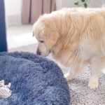 !Golden Retriever Shocked by a Kitten occupying his bed