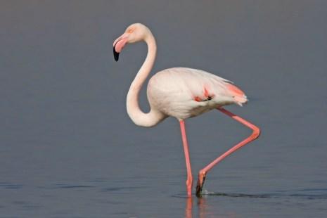 Flamingo Camargue 2 Mar 09_900