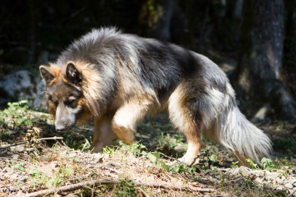 Connor   Altdeutsche Schaferhunde - Berger Allemand poil long