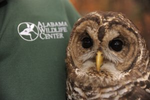 An owl held by an Alabama Wildlife Center volunteer