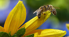 two bees on a yellow flower