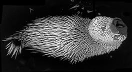 electron microscope scan of a worm-like mollusk