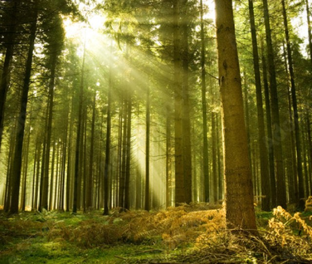 Click For Wall Decals Price  C B Pine Forest With The Last Of The Sun Shining Through The Trees