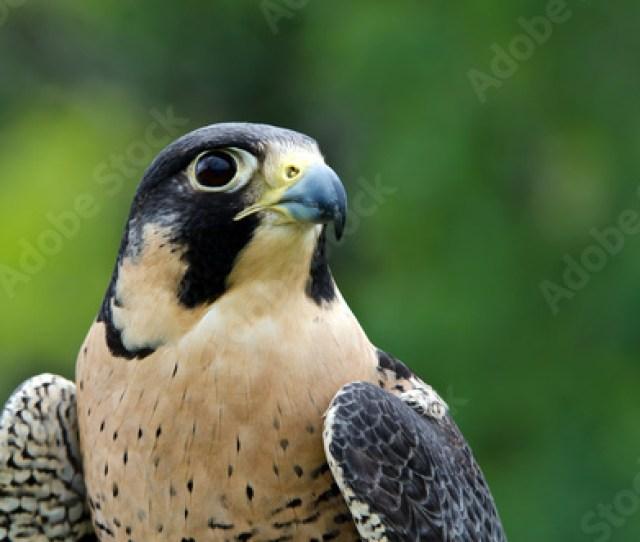 Peregrine Falcon Falco Peregrinus The Fastest Animal On Earth