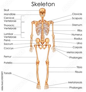 Medical Education Chart of Biology for Human Skeleton