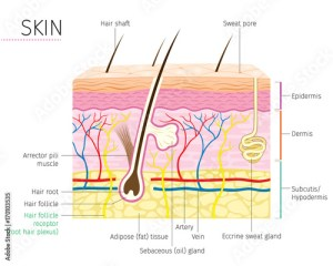 Human Anatomy, Skin And Hair Diagram, Integumentary System  Buy this stock vector and explore