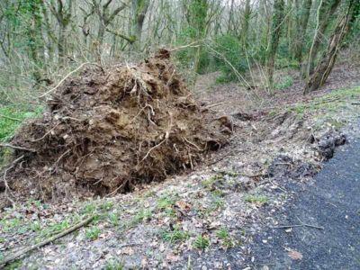 Arbre tombé en contrebas route des tilleuls