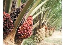 Photo of Ebola Epidemic Halts Expansion of Liberia's Largest Oil Palm Plantation