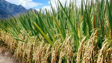Photo of Rice farmers urge Buffer Stock to find them a ready market