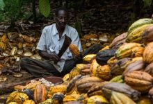 Photo of Pact to aid poor cocoa farmers in danger as COVID-19 hits demand