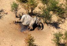 Dead elephant in Botswana
