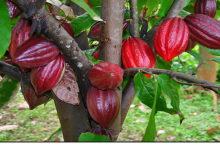 Photo of Stop overpoliticising cocoa, COCOBOD urges NDC