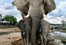 Mother elephant and babies