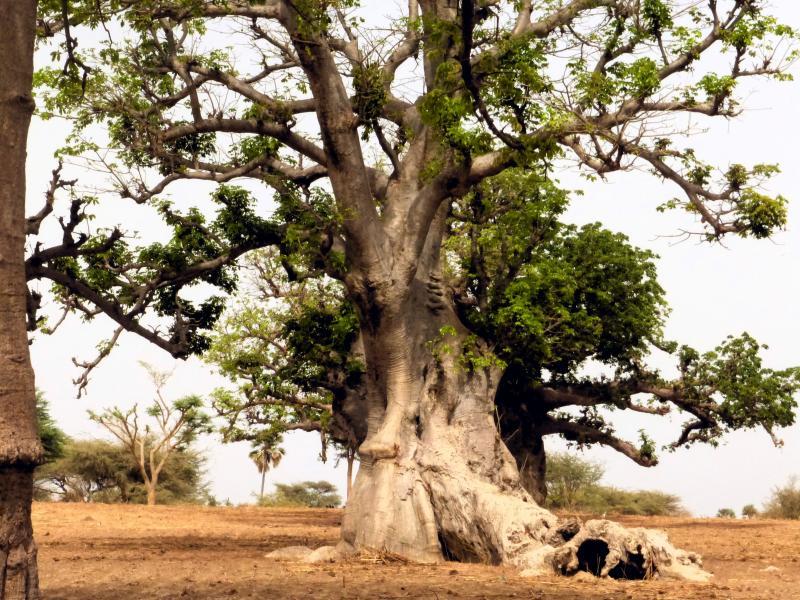 Baobab en Mar Lodj