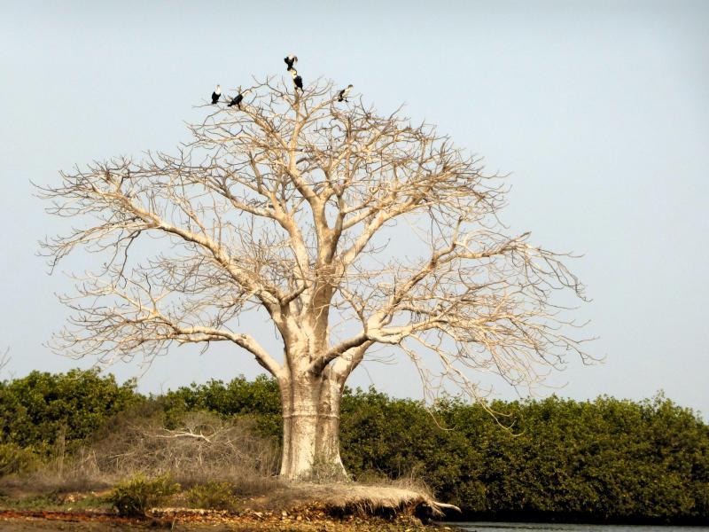 Baobab en el delta