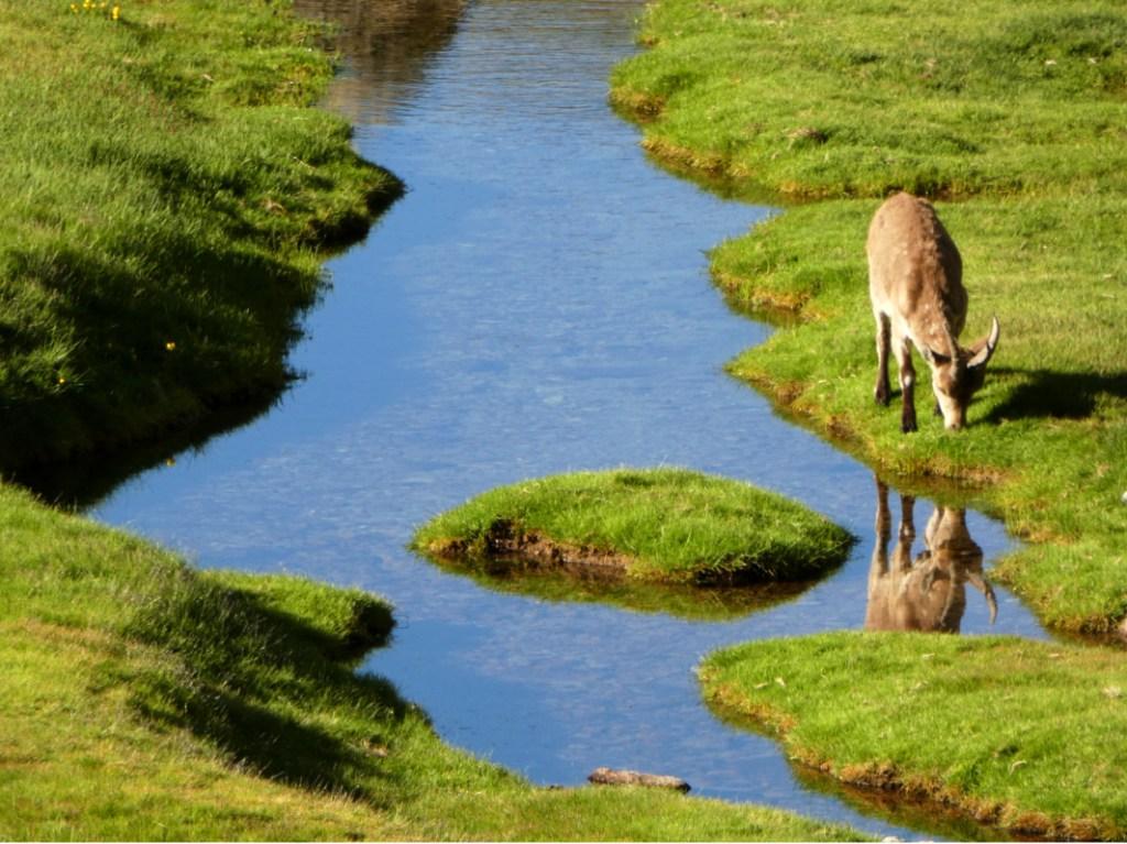 Cabras en la Laguna Grande