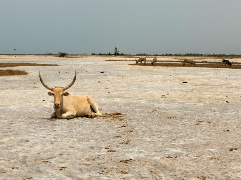 Vaca en Mar Lodj