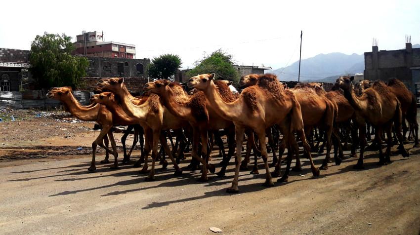 camellos reyes magos