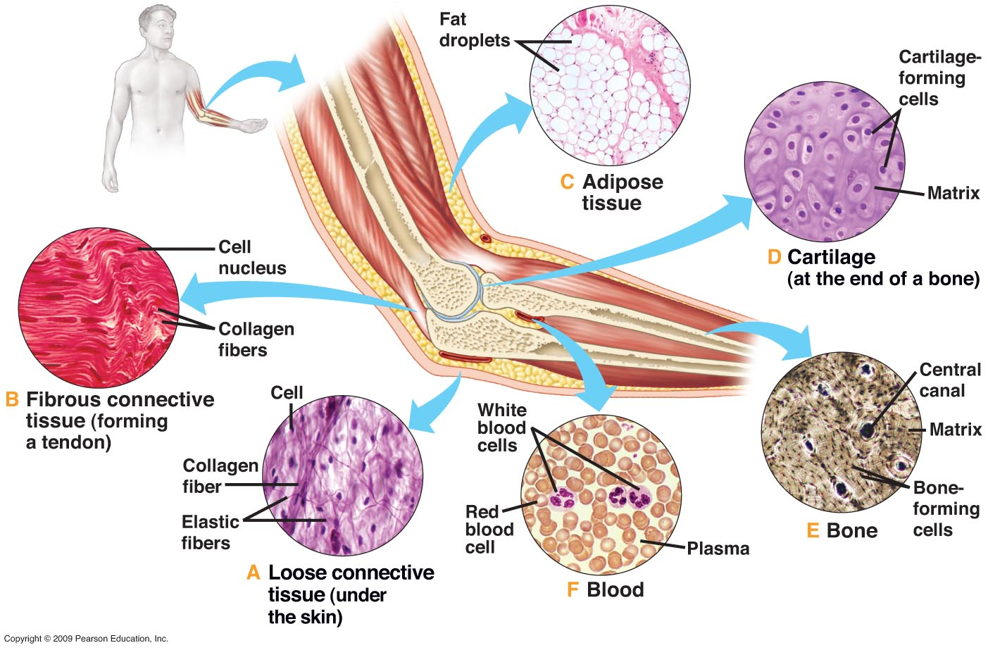 Connective Tissues Anatomy Language Histology