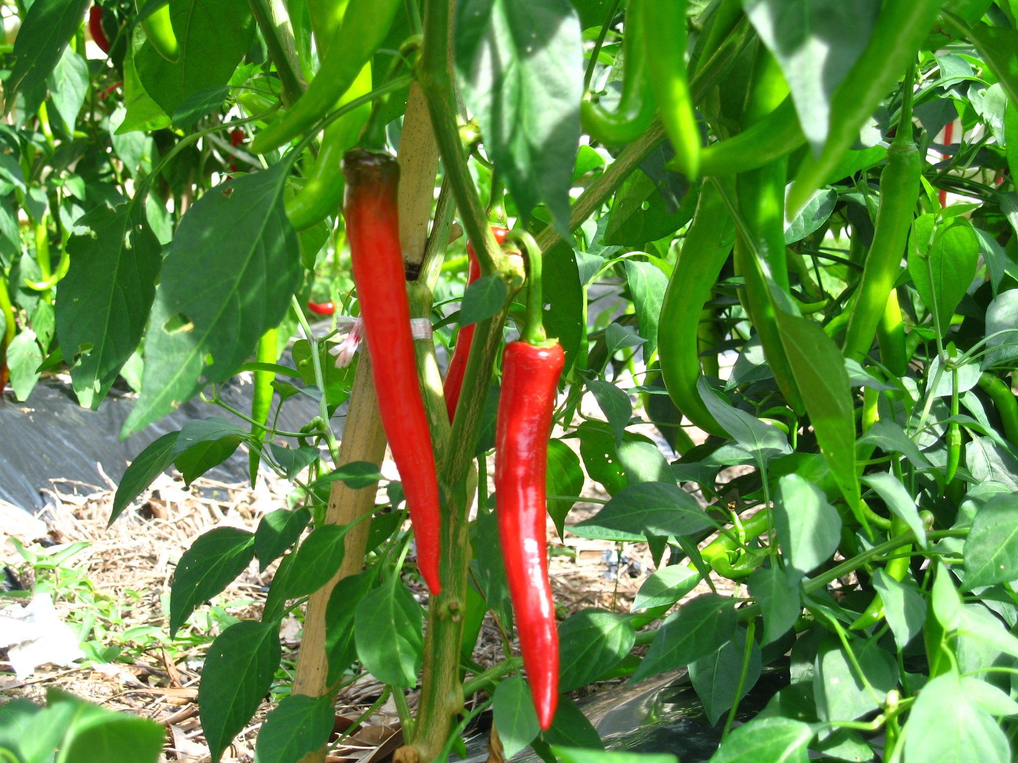 These medium-hot Malaysian chillis are just starting to turn red.