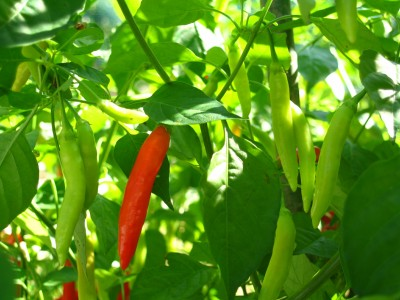 """These little """"Ishigaki"""" chillis are also very hot, but aromatic too."""