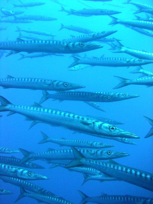 barracudas2