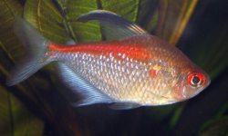 Hyphessobrycon Pyrrhonotus_01