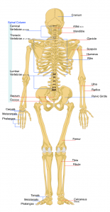 low back and spine anatomy
