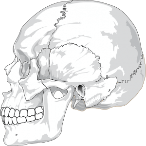 Picture of skull related to jaw pain