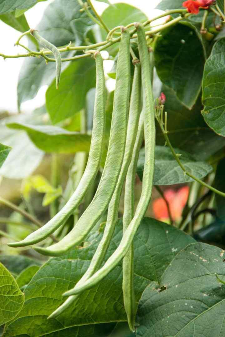 Detail of fresh beans growing in the garden