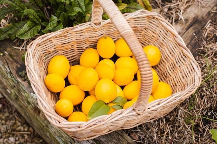 A basket full of freshly picked Meyer lemons sitting on the edge of the vegetable bed