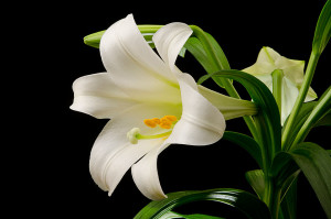 Easter-Lily-Blossom