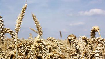 Weizen Wheat