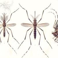 Aedes aegypti E-A-Goeldi 1905