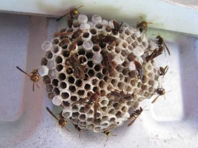 wasp nest vagina