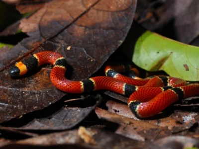 New Snake Species