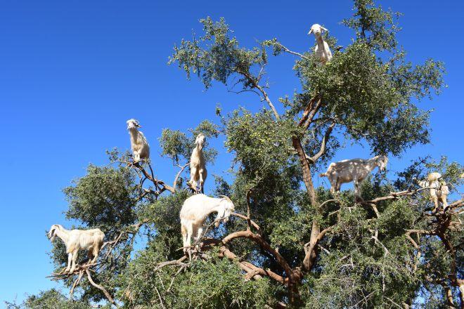 Marrocos Essaouira cabras comendo argan árvore