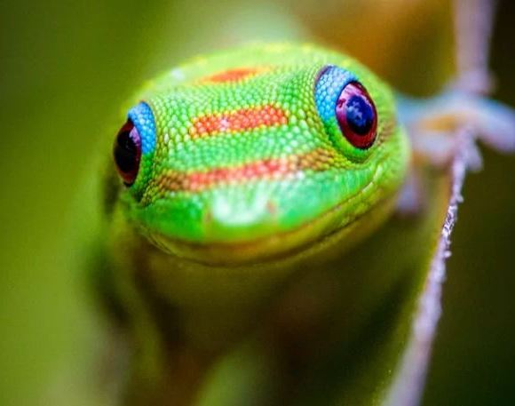 Gold-dusted day gecko in Hawaii
