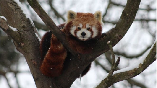 Red pandas are an endangered species