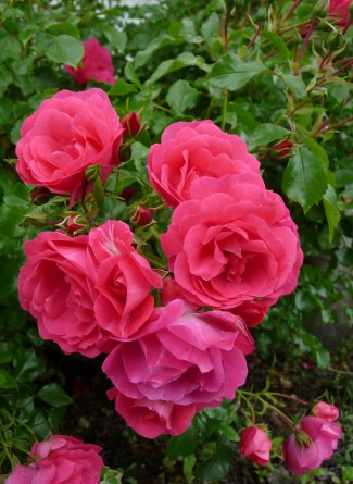 rose pink mum's crop
