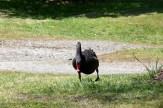 Lake Taupo swan