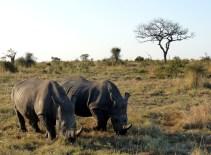Rhinos Ulusaba