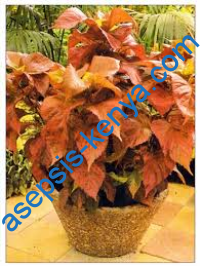 Acalypha plant