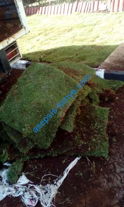 Instant carpet grass