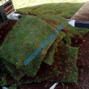 Instant carpet grass