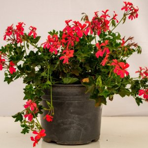 Hanging geraniums are fast growing and brightly colored.