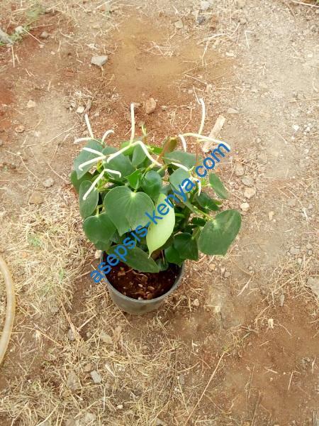 Heartleaf plant
