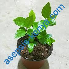 Grafted yellow passion fruit