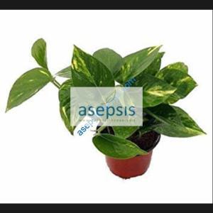 Money plant, silver vine houseplant