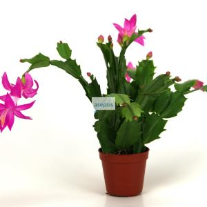 Christmas cactus, Schlumbergera Truncata